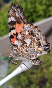 Papillon Soie