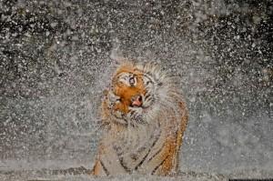 Le tigre s'ébroue